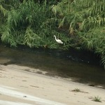 Great Egret along the Los Angeles River in Frogtown.