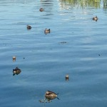 Ruddy Ducks in Colorado Lagoon, Long Beach, CA.