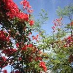 Bougainvillea blooms best when dry
